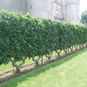 Hedgerow planting and espalier pruning