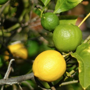 lemon and lime tree
