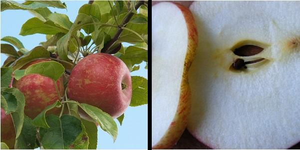 Apples on tree and sliced