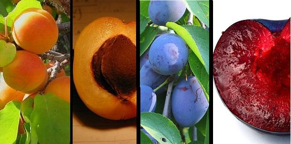 Apricot & Plum Trees