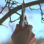 Hand shears pruning a tree