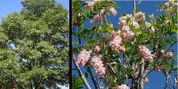 Black Locust/Robinia tree