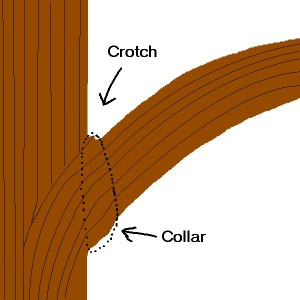 Collar and Crotch of a branch