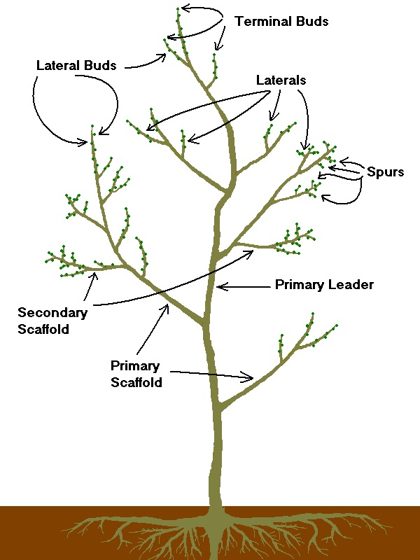 Pruning - Tree Terms (white)