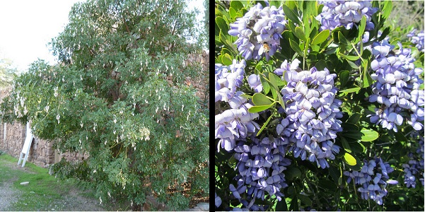 Texas mountain laurel tree