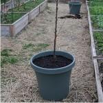 Nursery Tree in pot