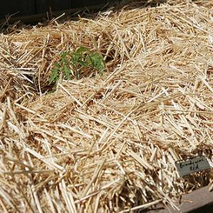 Straw Mulch