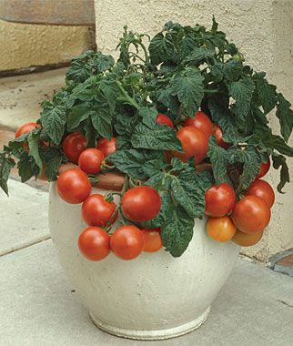 Tomato, Patio Princess