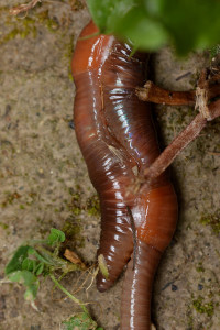 Worms Mating